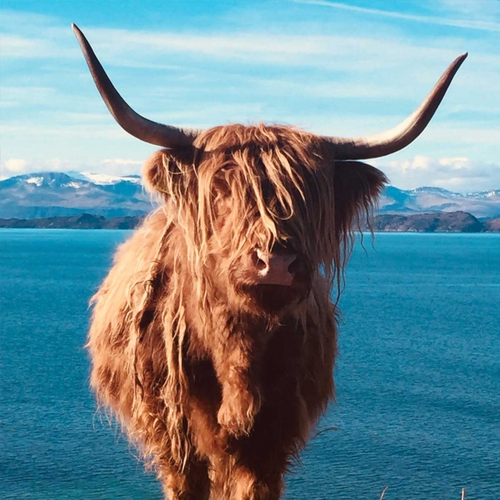 Scottish Highland Cows may be found on your tour of Scotland