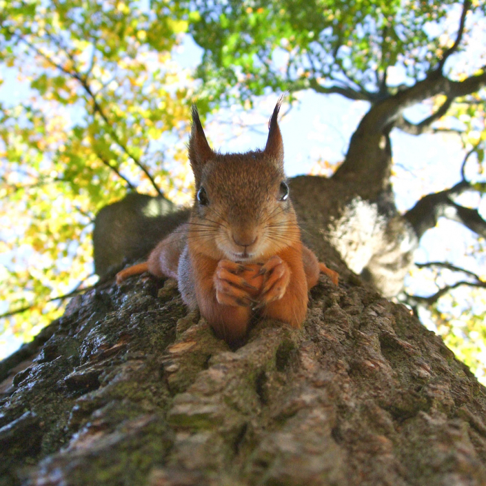 Red Squirrel in our Top 10 Autumn Walks in Perthshire